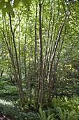 Corylus avellana (Haselnuss) mit Waldpflanzen im Unterholz,