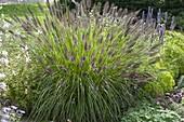 Pennisetum alopecuroides var viridescens (Japanisches Federborstengras)