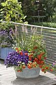 Alte Zink-Wanne bepflanzt mit Aster dumosus 'Azurit' (Kissenaster)