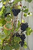 Weinrebe 'Mitschurinski' (Vitis amurensis) Amurtraube am Spalier