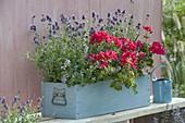 Blau-rot bepflanzter Holzkasten : Pelargonium zonale Classic 'Atlantis'