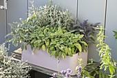 Verschiedene Sorten Salbei in Kunststoffkasten : Salvia officinalis 'Rotmuehle'