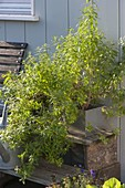 Aloysia triphylla als Teekraut (Zitronenverbene, Vervain)