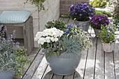 Grauer Kübel herbstlich bepflanzt : Chrysanthemum 'Tonka weiss'