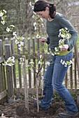 Sauerkirsche in den Garten pflanzen
