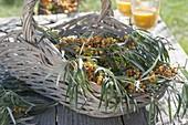 Korb mit frisch geschnittenen Zweigen von Sanddorn (Hippophae ramnoides)