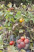 Frisch geerntete Kürbisse 'Hokkaido' 'Butternut' (Cucurbita pepo) in Drahtkor