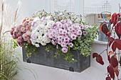 Balkonkasten mit Chrysanthemen 'Labo' weiss 'Tonka' rosa , 'Sultan Cerise'