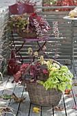 Korb bepflanzt mit Heucherella 'Stop Light' und Heuchera 'Galaxy''Paprika'