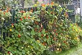 Tropaeolum majus (Kapuzinerkresse) klettert an Ranknetz am Gartenzaun