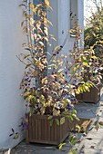 Callicarpa (Liebesperlenstrauch) mit lila Beeren