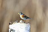 Bergfink oder Nordfink (Fringilla montifringilla) auf Baumstumpf