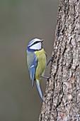 Blaumeise (Cyanistes caeruleus, Syn. Parus caeruleus) am Baum
