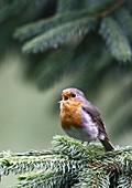 Rotkehlchen (Erithacus rubecula) singt auf Fichtenast
