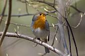 Rotkehlchen singt im Frühling, Erithacus rubecula, Bayern, Deutschland / Robin singing in spring, Erithacus rubecula, Bavaria, Germany