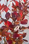 Amerikanische Heidelbeere (Vaccinium corymbosum) in Herbstfärbung