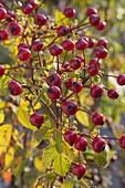 Rosa 'Magical Delight' (Hagebuttenrose) im Herbst