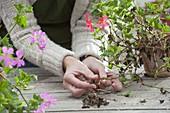 Pelargonium peltatum (Hänge-Geranien) im Herbst beim Einwintern