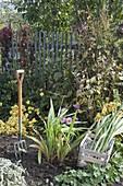Gladiolen zum einwintern ausgraben