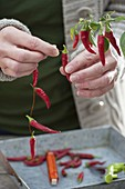 Chili ernten und zum Trocknen auffädeln