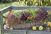 Herbstlich bepflanzter Korbkasten auf Holzbank : Viola cornuta (Hornveilchen