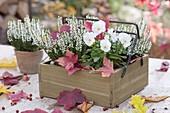 Kästchen mit Viola cornuta (Hornveilchen) und Calluna Garden Girls 'Helena'