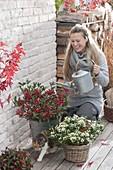 Frau giesst Skimmia japonica 'Kew White' und 'Winnie Dwarf' (Fruchtskimmien