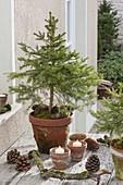 Selbstgezogene Picea abies (Rotfichte) im Tontopf, Kerzen, Zapfen