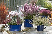 Calluna vulgaris Garden Girls (Knospenbluehende Besenheide), Erica gracilis
