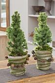 Kleine Picea glauca 'Conica' (Zuckerhutfichten), dekoriert mit Zapfen