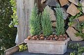 Terracottakasten mit Chamaecyparis 'Ellwoodii' (Scheinzypressen) und Zapfen