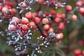 Gefrorene Fruchtstaende von Nandina domestica (Heiliger Bambus)