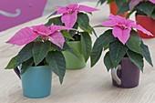 Euphorbia pulcherrima 'Princettia Hot Pink' (Weihnachtssterne)