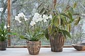 Phalaenopsis (Malayenblume, Schmetterlingsorchidee), Begonia maculata