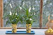 Spathiphyllum wallisii (Einblatt) in asiatischen Bechern am Fenster