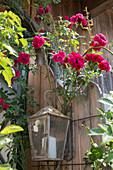 Rosa 'Super Excelsa' (Ramblerrose) an Laterne an Hauswand