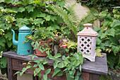 Alter Holz-Tisch mit Emaille-Kanne , Topf mit Pelargonium (Duftgeranie) und Laterne am Beet mit Hydrangea quercifolia (Eichenblatt-Hortensie), Clematis (Waldrebe) und Farn