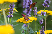 Tagpfauenauge (Inachis io; Syn.: Nymphalis io) auf Blüten vom Achillea (Schafgarbe) und Agastache (Duftnessel)