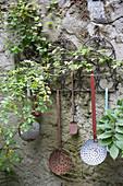 Gestell mit alten Kuechengeraeten an Wand, Ranke von Rosa (Wildrose), Lamium (Taubnessel) wächst aus der Wand