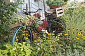 Altes Fahrrad als Deko im Spaetsommerbeet : Anemone japonica (Herbstanemone), Rudbeckia fulgida (Sonnenhut), Phlox paniculata (Flammenblumen), Miscanthus gracillimus (Zwerg-Chinaschilf), Hydrangea (Hortensie) und Hedera (Efeu) im Topf