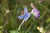 Hauhechel-Bläuling (Polyommatus icarus) auf Trifolium pratense (Rotklee)