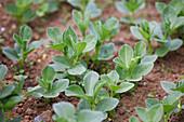 Junge Ackerbohnen (Vicia faba) in Reihe im Beet