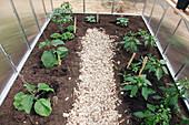 Kleines Gewächshaus bepflanzt mit Auberginen (Solanum melongena), Tomate (Lycopersicon), Basilikum (Ocimum basilicum), Paprika (Capsicum annuum), Rauke (Diplotaxis) und Andenbeere (Physalis), Weg mit Hackschnitzeln gemulcht
