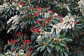 Pieris japonica 'Forest Flame' (Schattenglöckchen, Lavendelheide)
