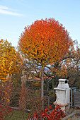 Prunus fruticosa 'Globosa' (Steppenkirsche, Kugelkirsche) Hochstamm in leuchtend oranger Herbstfärbung, Miscanthus (Chinaschilf) zusammengebunden als Winterschutz