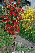 Camellia japonica 'Tom Knudsen' (Kamelie) im Vorgarten, diese Sorte eignet sich nur für Weinbauklima oder mit gutem Winterschutz, hinten Forsythia (Goldgloeckchen)