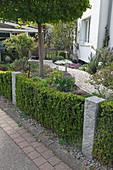 Schmale Hecke aus Buxus (Buchs) unterbrochen von Granitstelen im Vorgarten, geschwungener Weg zum Haus zwischen Beeten mit fruehlingsbluehenden Stauden