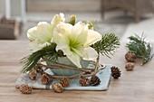 Schale mit Blüte von Hippeastrum (Amaryllis), Zweigen von Pinus (Kiefer)