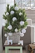 Pinus (Kiefer) als lebender Weihnachtsbaum mit weissen Kugeln