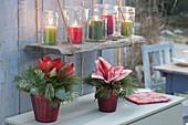 Rote Glas-Vasen mit Hippeastrum (Amaryllis) und Zweigen von Abies
